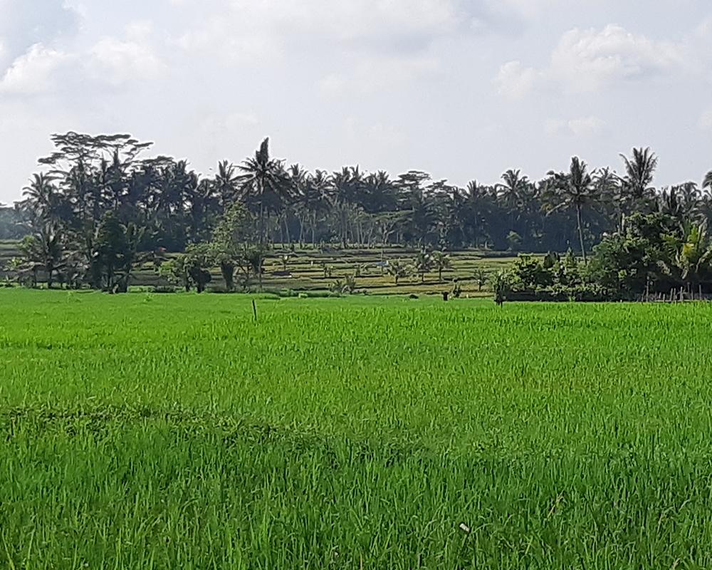 Rice Field - Onje Villa Ubud